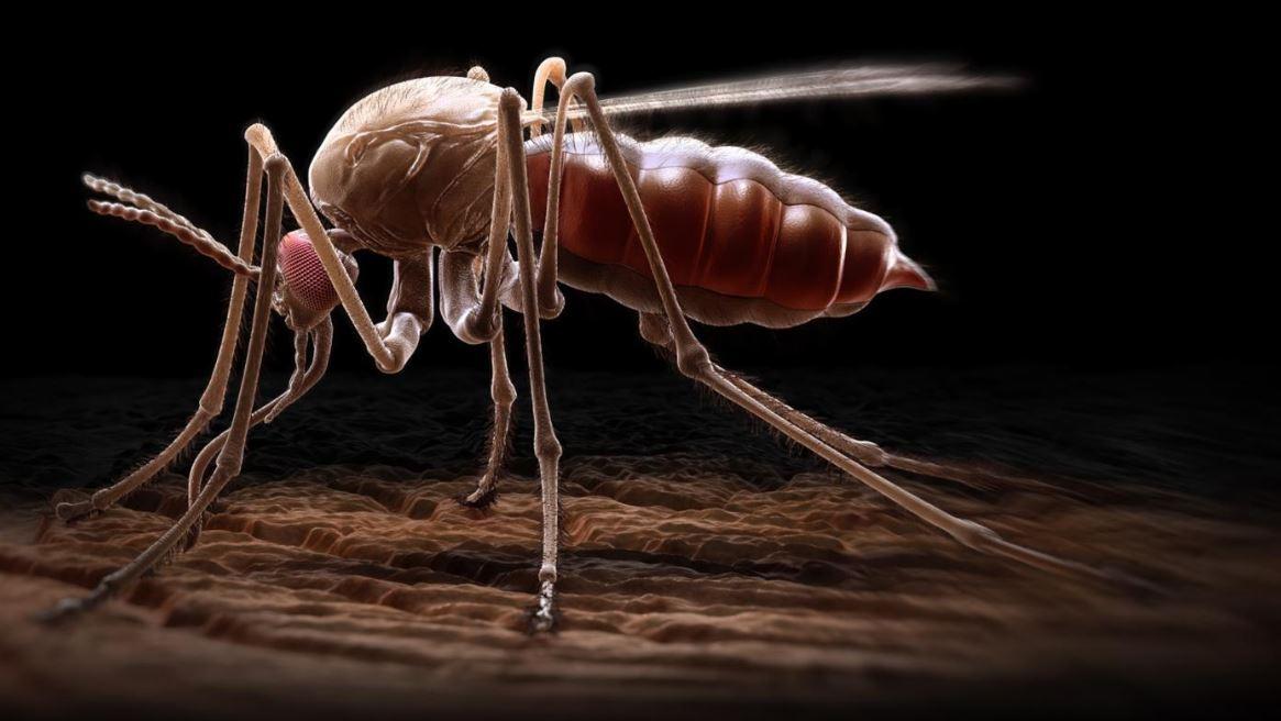 moustique anophèle cause du paludisme