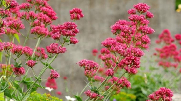 Valeriane, plante efficace pour le sevrage tabagique